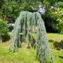 le-cedre-dans-jardin-3