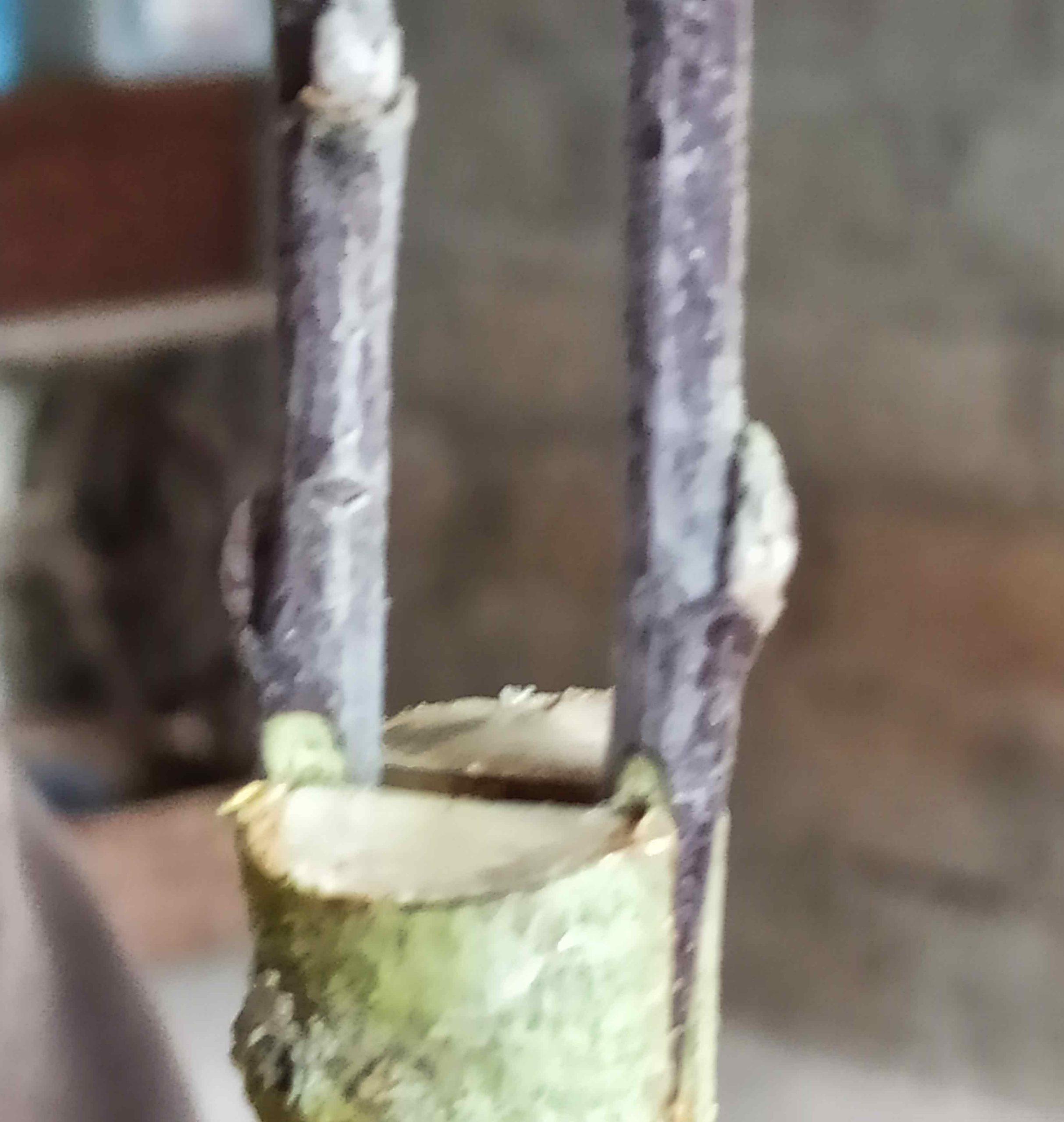 8-Positionnement de deux greffons sur  porte greffe  (greffe en fente)